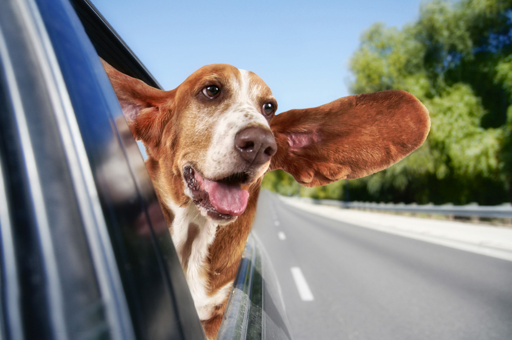Dog enjoying being in a car